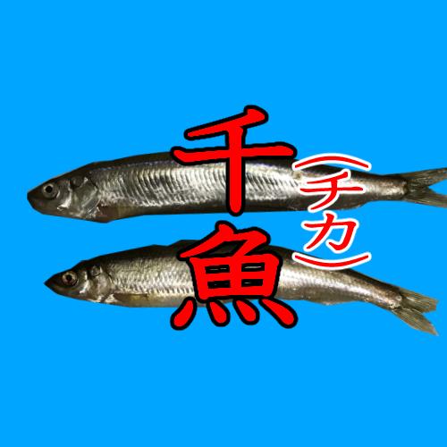 釣り魚種事典「チカ(千魚)」